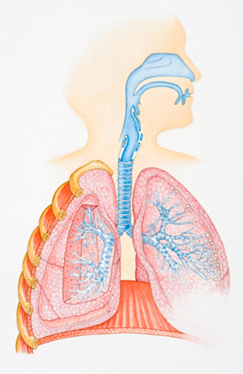 human-lungs